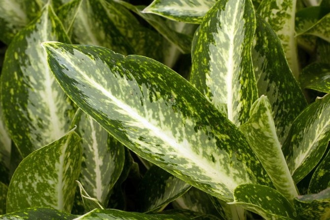 growing Chinese evergreen