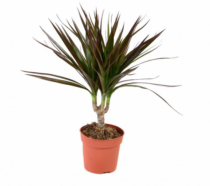 dragon tree care