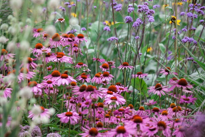 growing Echinacea purpurea