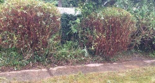 St Luke's shrubs pruning EC1